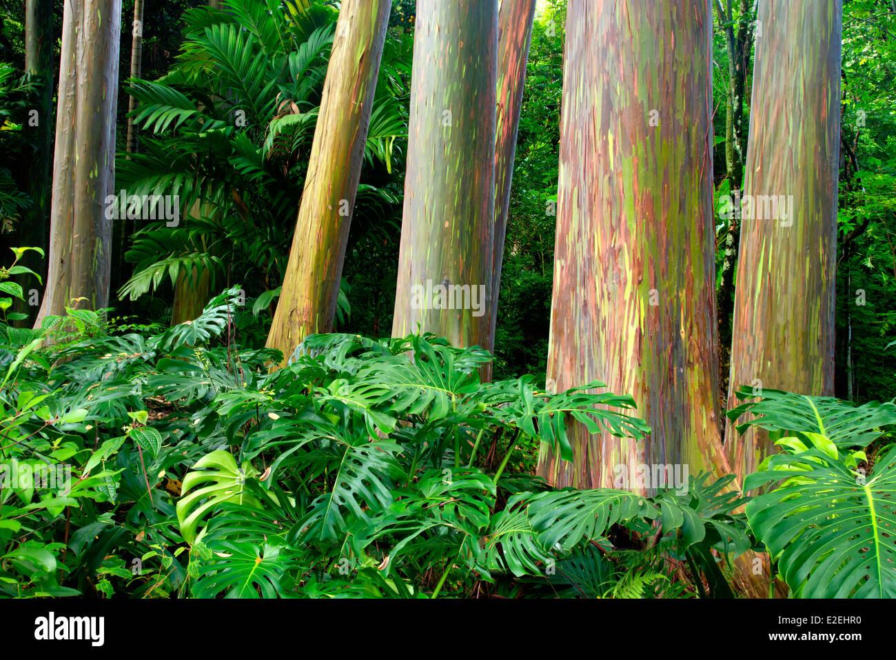 Regenbogen Eukalyptus (Eucalyptus Deglupta) ...und teilen Blatt Philodendron. Keanae Arboretum. Maui, Hawaii Stockbild