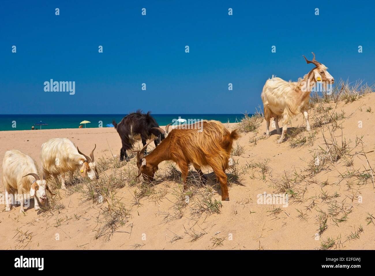 Italien, Sardinien, Medio Campidano Provinz, die Costa Verde, Ziegen am Strand Piscinas Stockbild