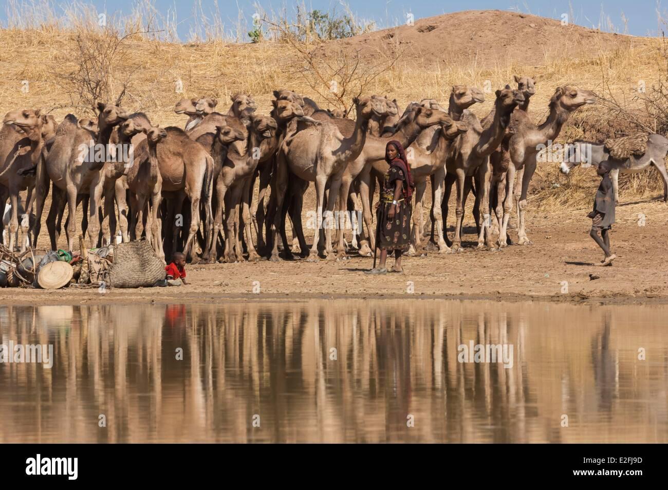 Tschad, Sahel, Eref, Kamele am Wasserloch Stockbild