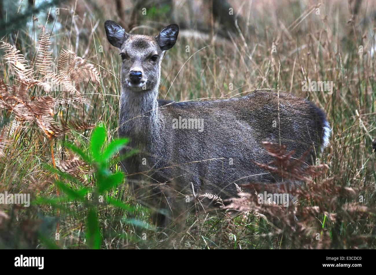 Sika Hirsch Cervus Nippon Säugetier Säugetiere Tier wilde Tierwelt Natur Stockbild
