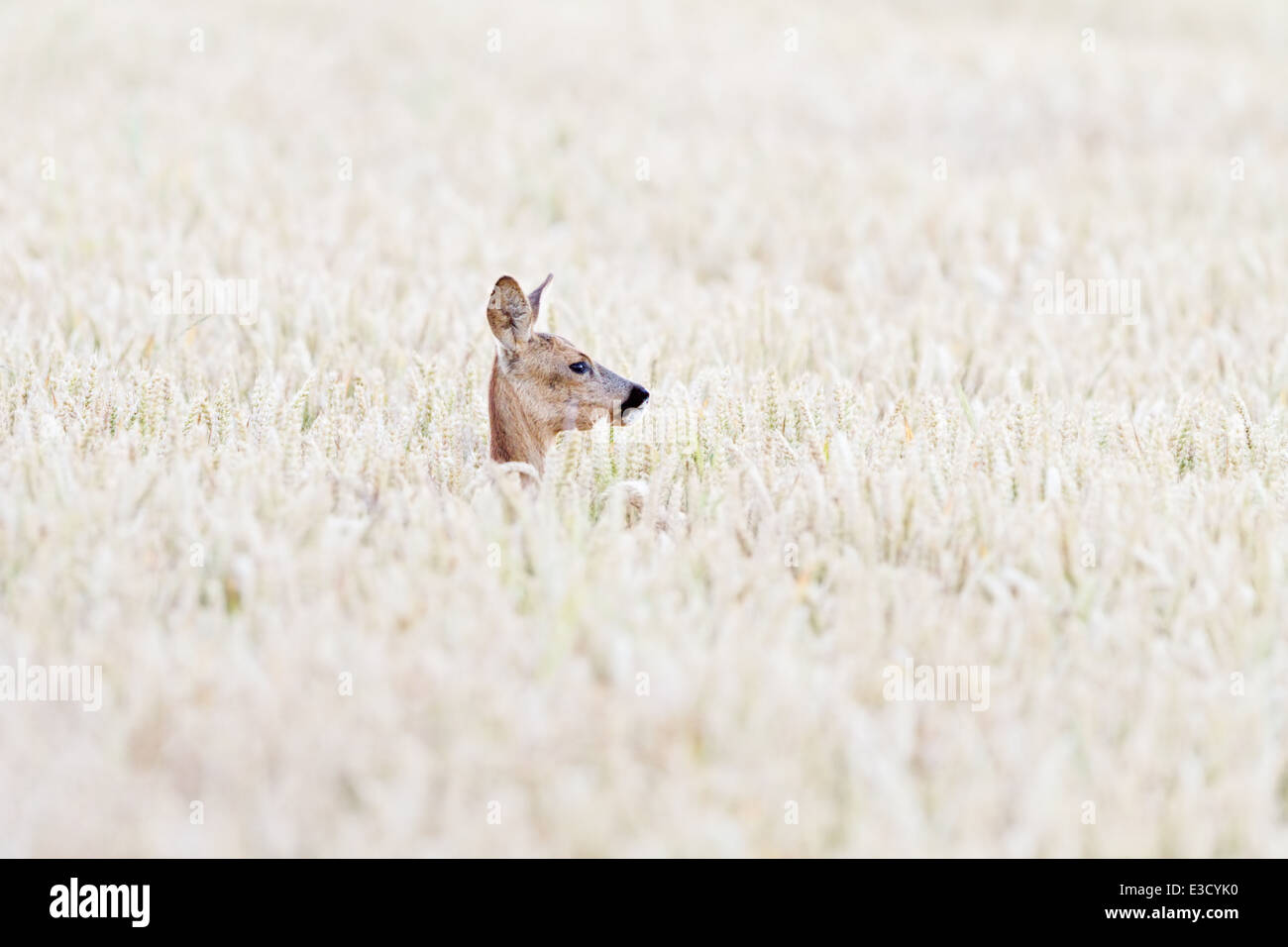 Eine weibliche Rehe versteckt sich in einer Ackerfläche in jährlichen Brunft das Rehwild im Sommer, Norfolk, Stockbild
