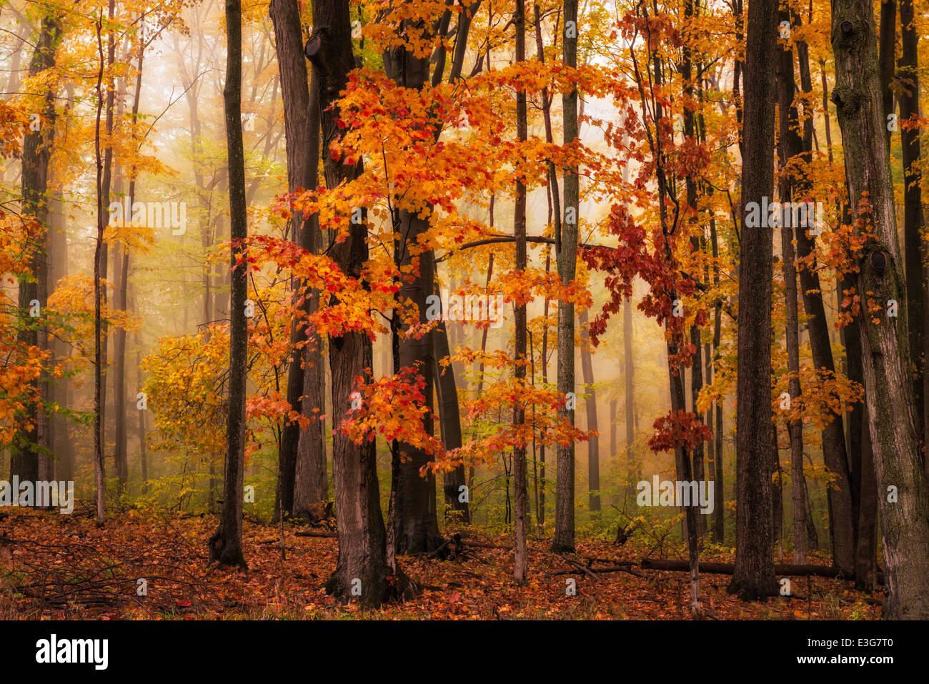 Einen nebligen Herbst Wald in Nordholz Michigan, USA Stockbild