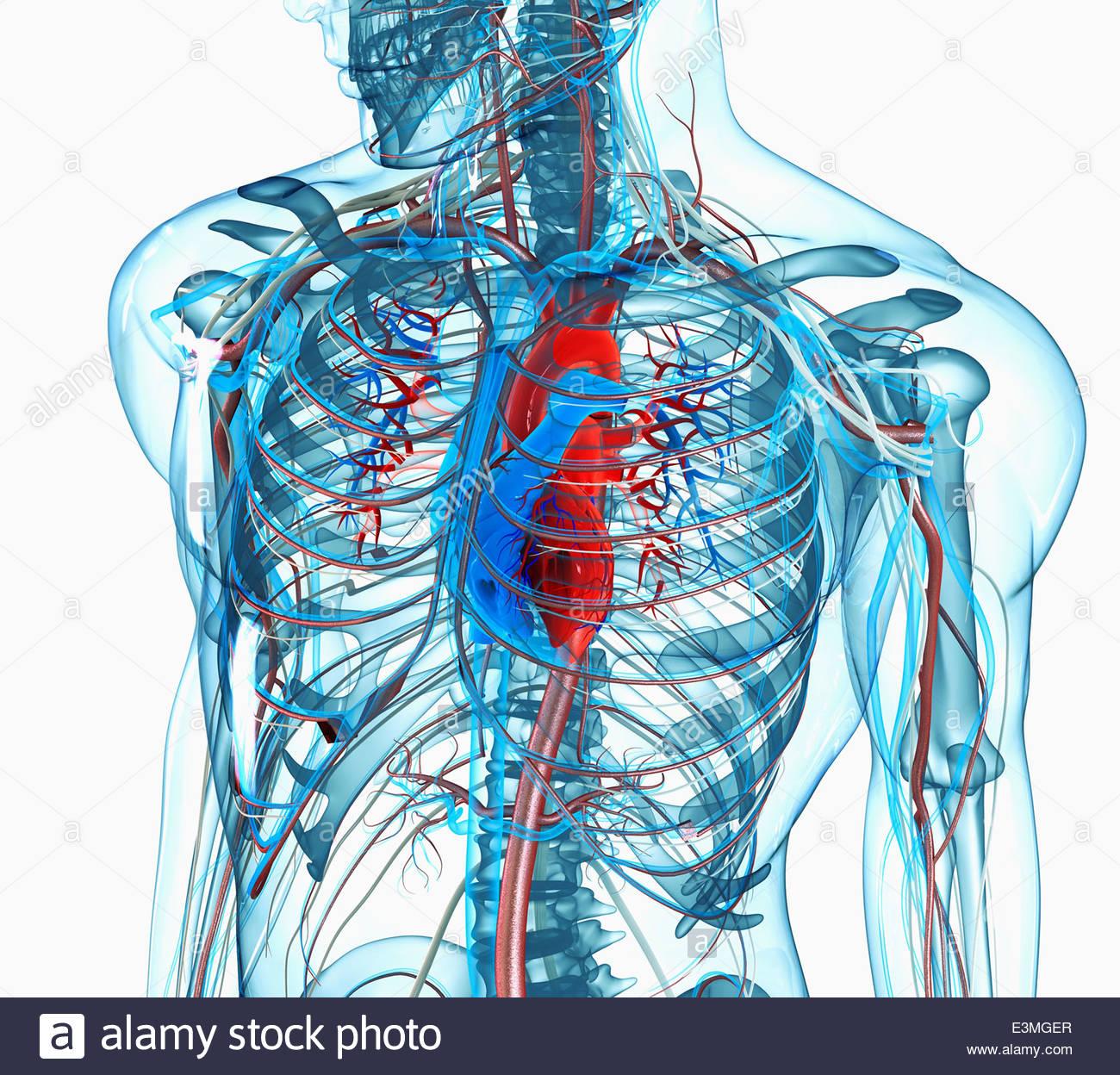Menschlichen männlichen anatomisches Modell des Brust, Herz und ...