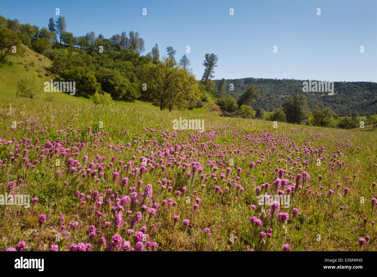 Eulen-Klee blüht auf einer Weide in eine Rinderfarm Coastal Range in Zentral-Kalifornien Stockbild