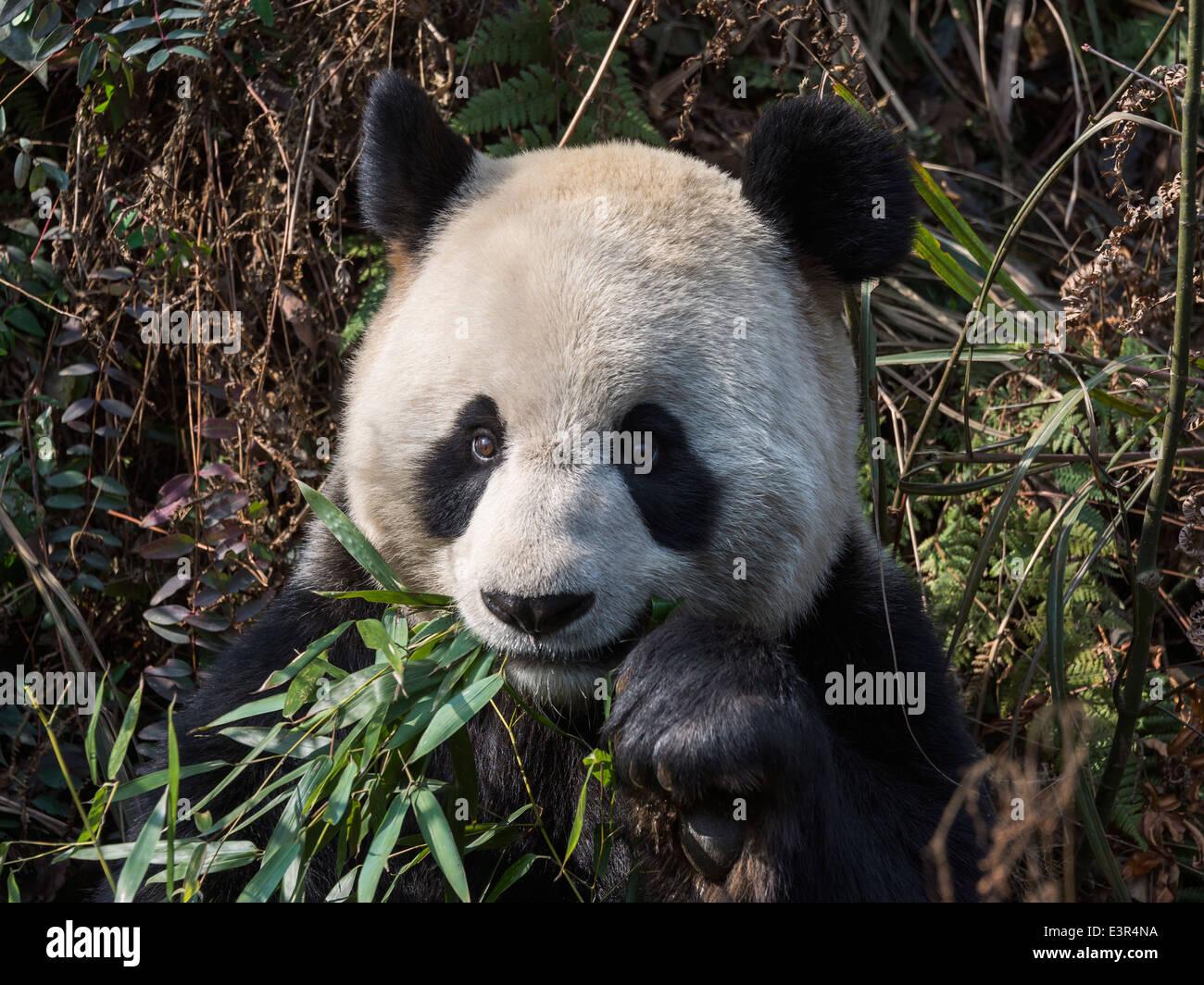 Giant Panda Nahaufnahme Essen Bambus Blatter Bifeng Xia Provinz
