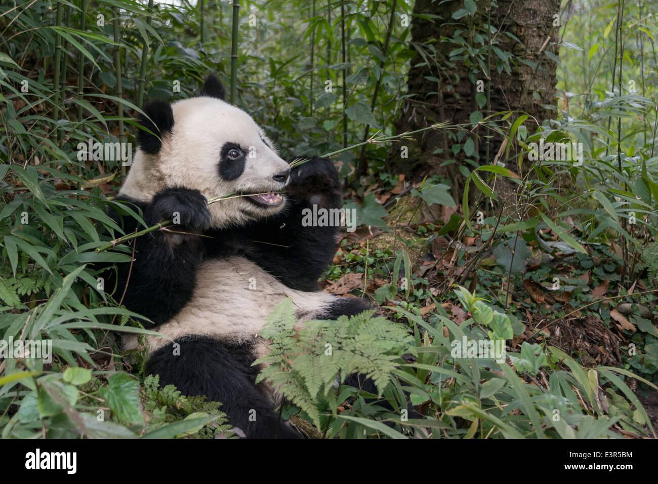 Panda Essen Einen Leckeren Jungen Bambus Stiel Bifeng Xia Provinz