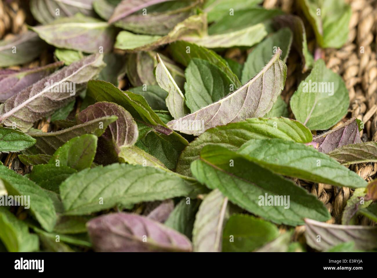 Frisch geerntete Pfefferminze Blätter in einem Korb, Oregon. Stockbild