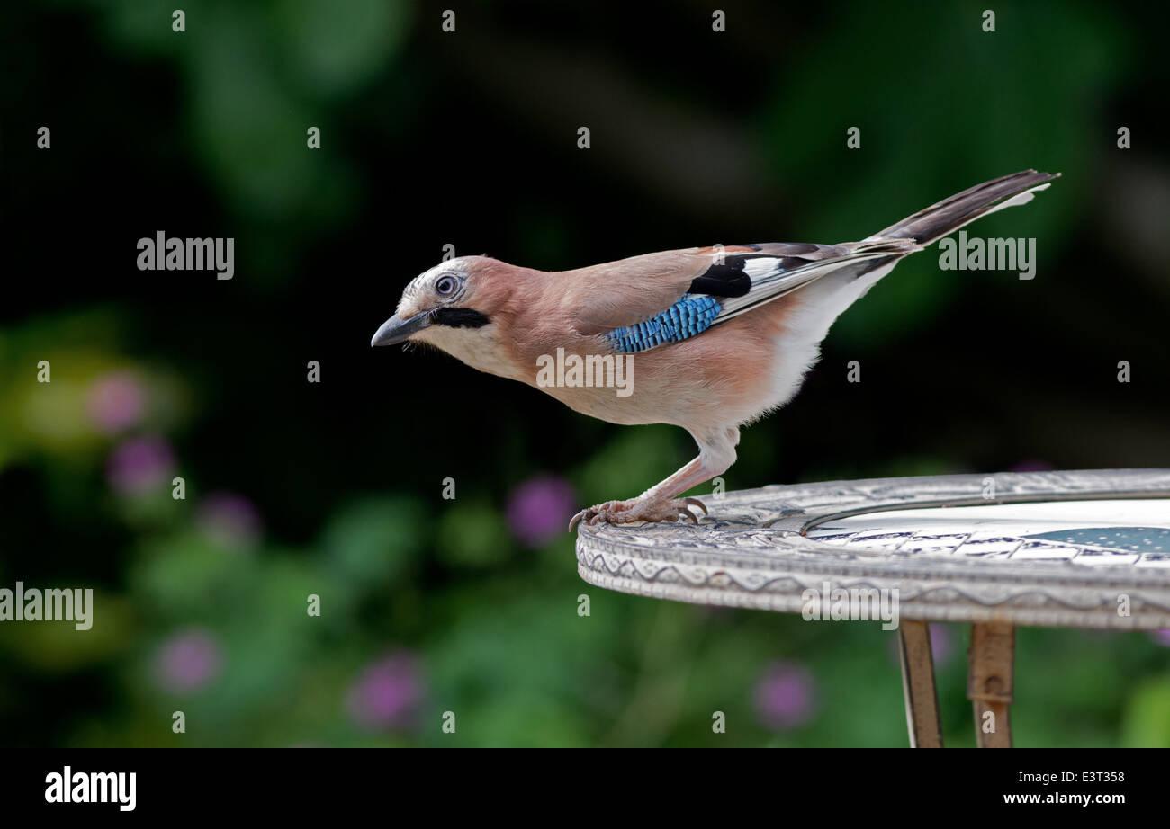 Jay-Garrulus Glandarius. Sommer. UK Stockbild