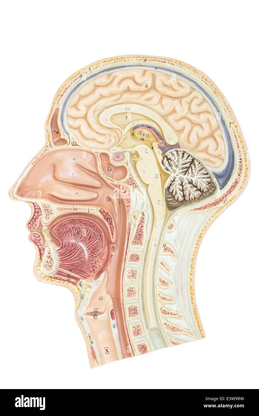 Querschnitt des menschlichen Kopfes Stockfoto, Bild: 71241965 - Alamy