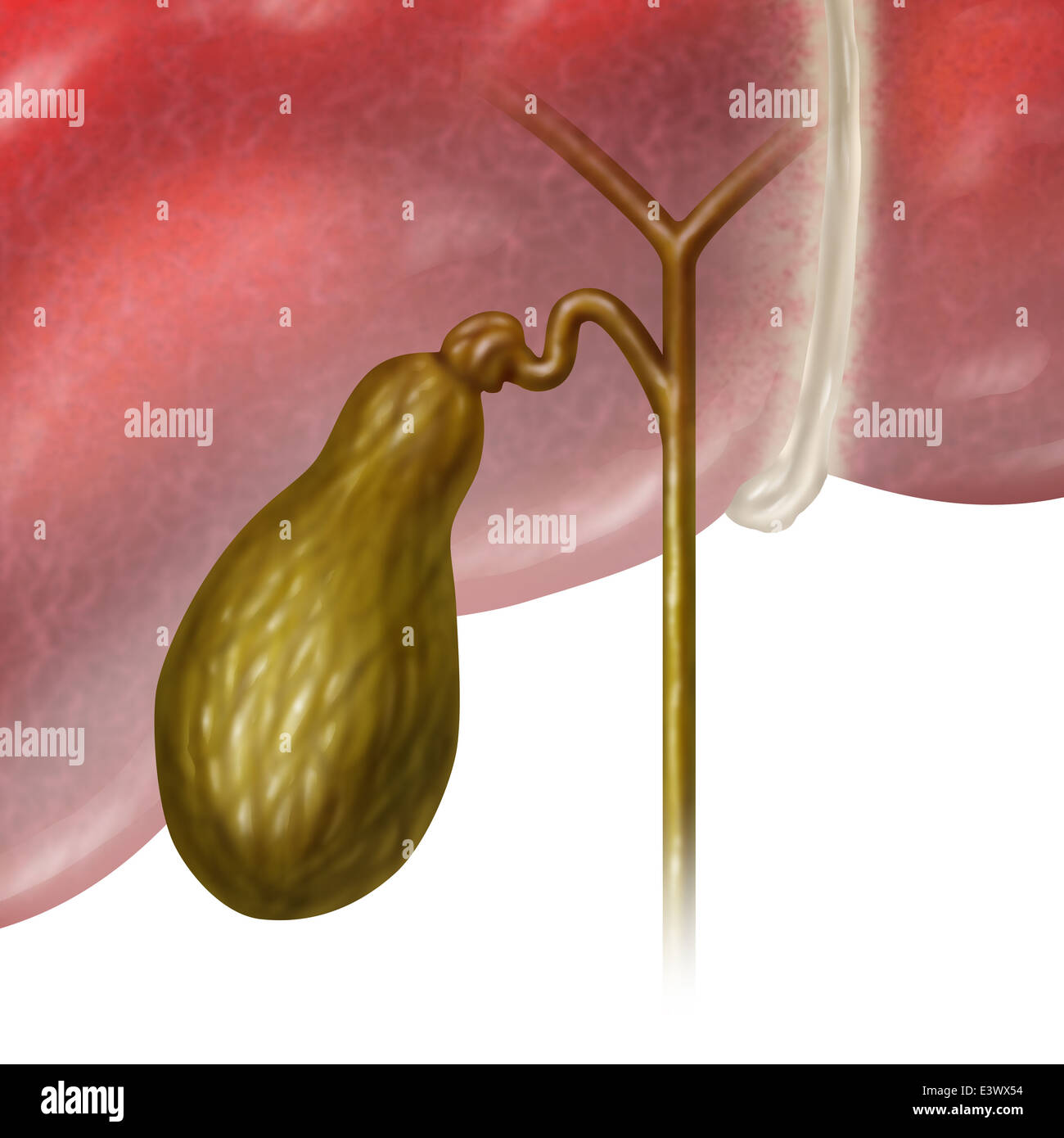 Gallenblase oder Gallenblase interne Organ des Menschen als eine ...