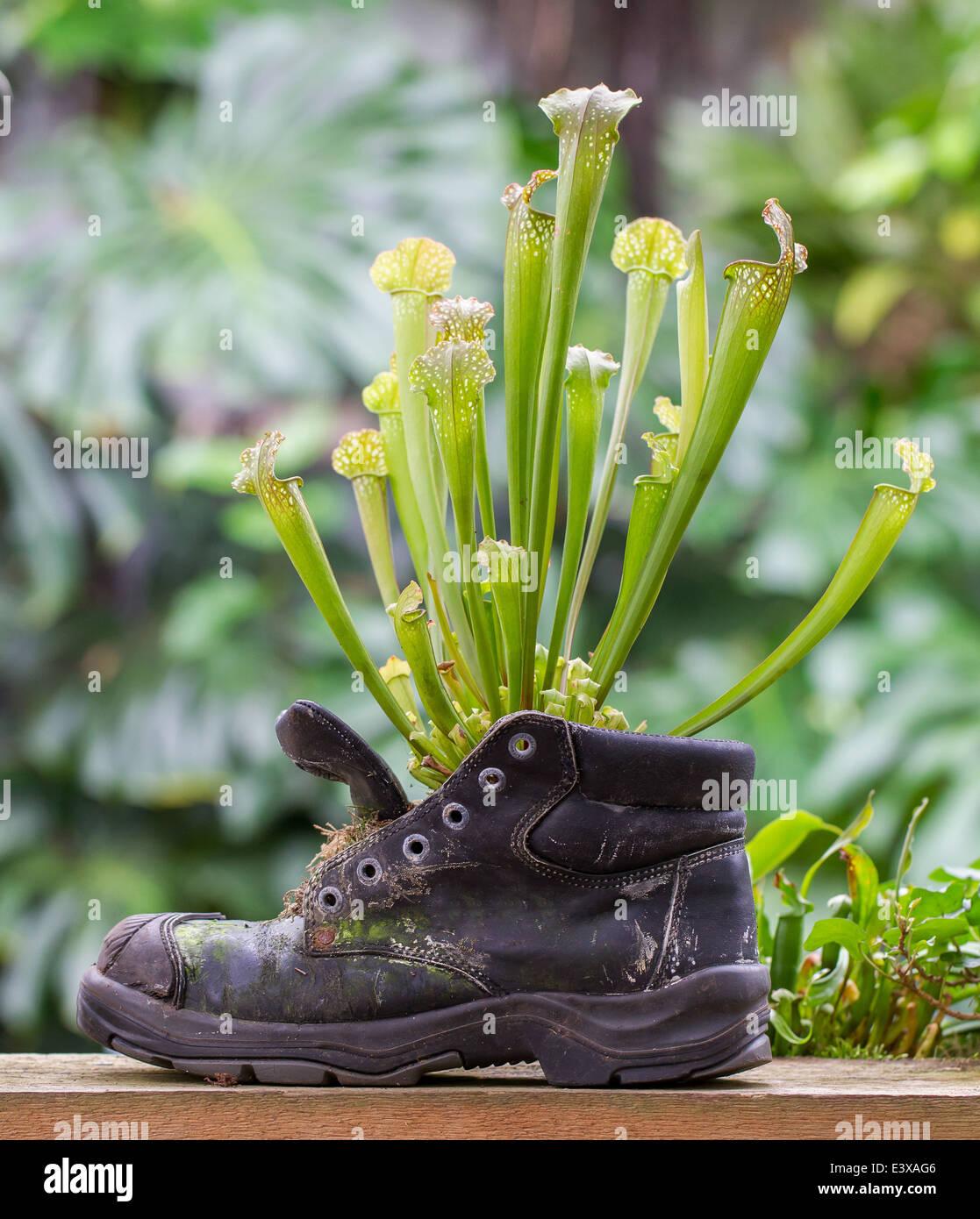 Natur-Kraft, Kannenpflanzen in einen alten Schuh Stockbild