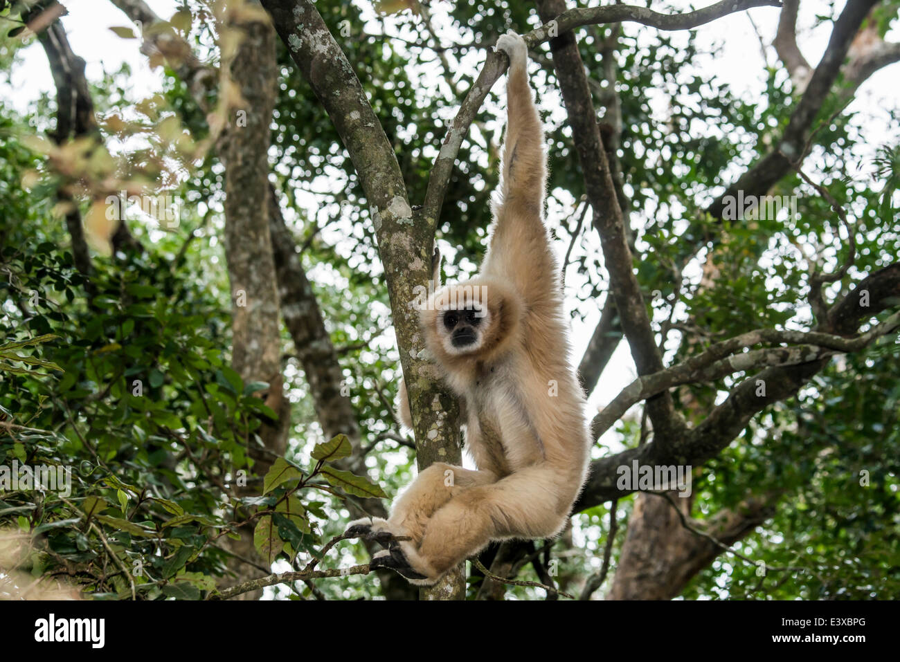 White-handed Gibbon (Hylobates Lar) hängt in einem Baum gefangen, Provinz Westkap, Südafrika Stockfoto