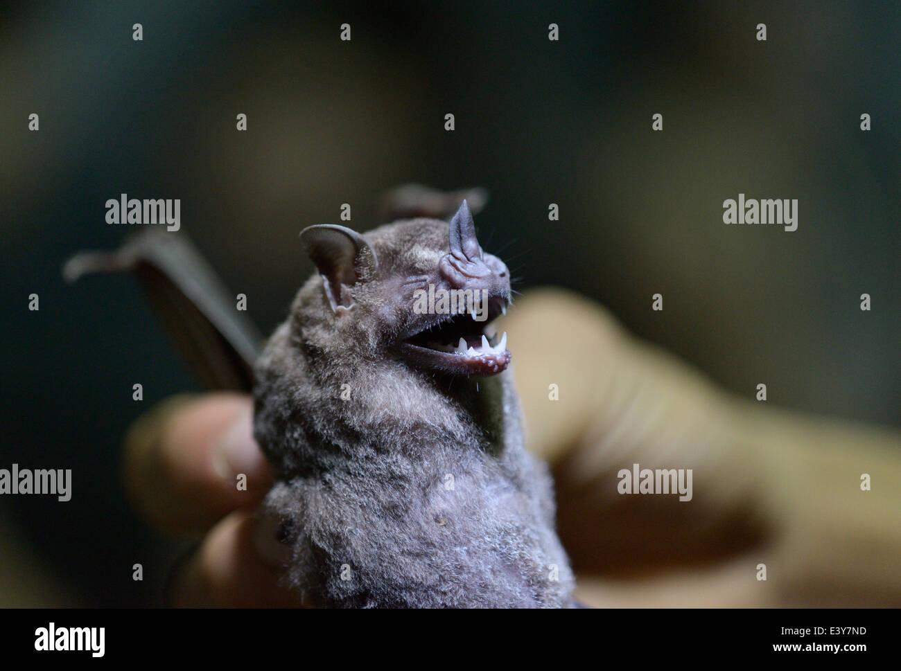 Forscher halten eine Blatt-gerochene Fledermaus (Phyllostimidae), die mit einem Nebel net erfasst wurde Stockbild