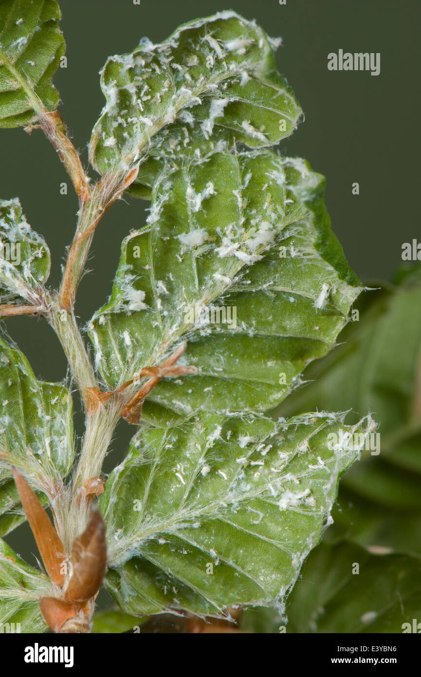 Wollige Buche Blattlaus, Phyllaphis Fagi, an der Unterseite des jungen buchen Hecke Blätter Stockbild