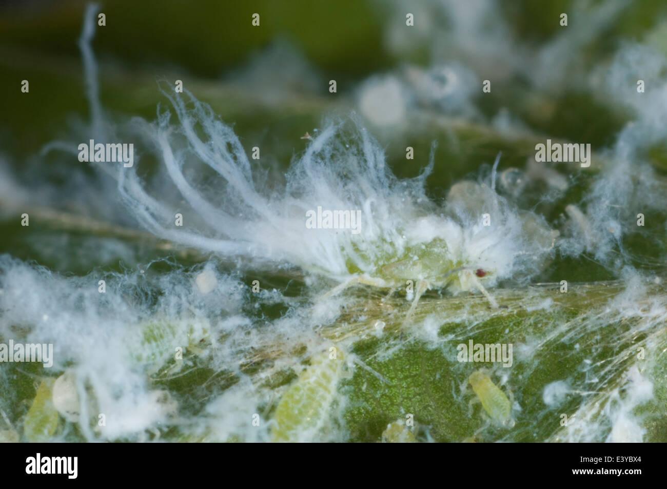 Mikrophotographie wollig Buche Blattlaus Phyllaphis Fagi Kolonie