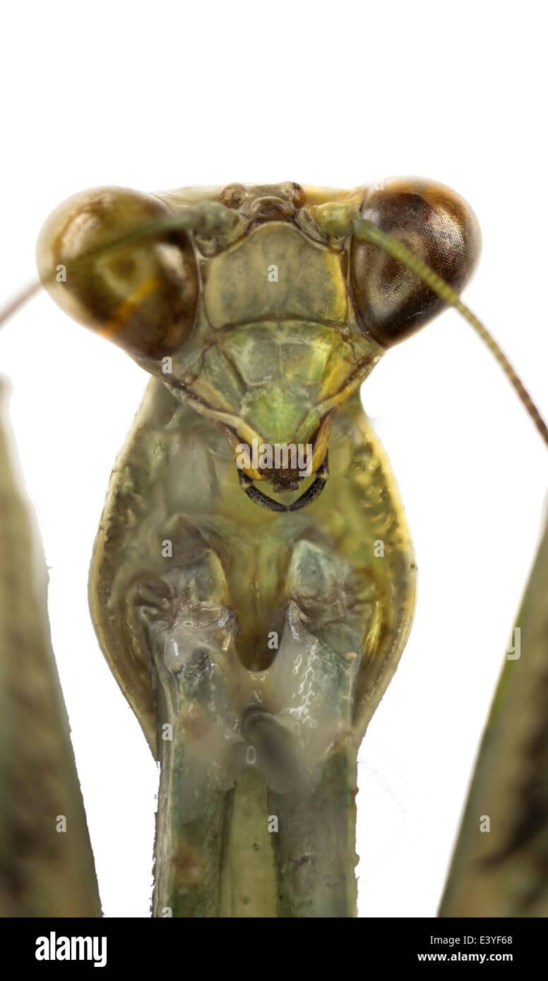 Mantodea; Mantidae; Schodromantis Viridis; Forsskâl 1775; Afrikanische Gottesanbeterin Stockbild