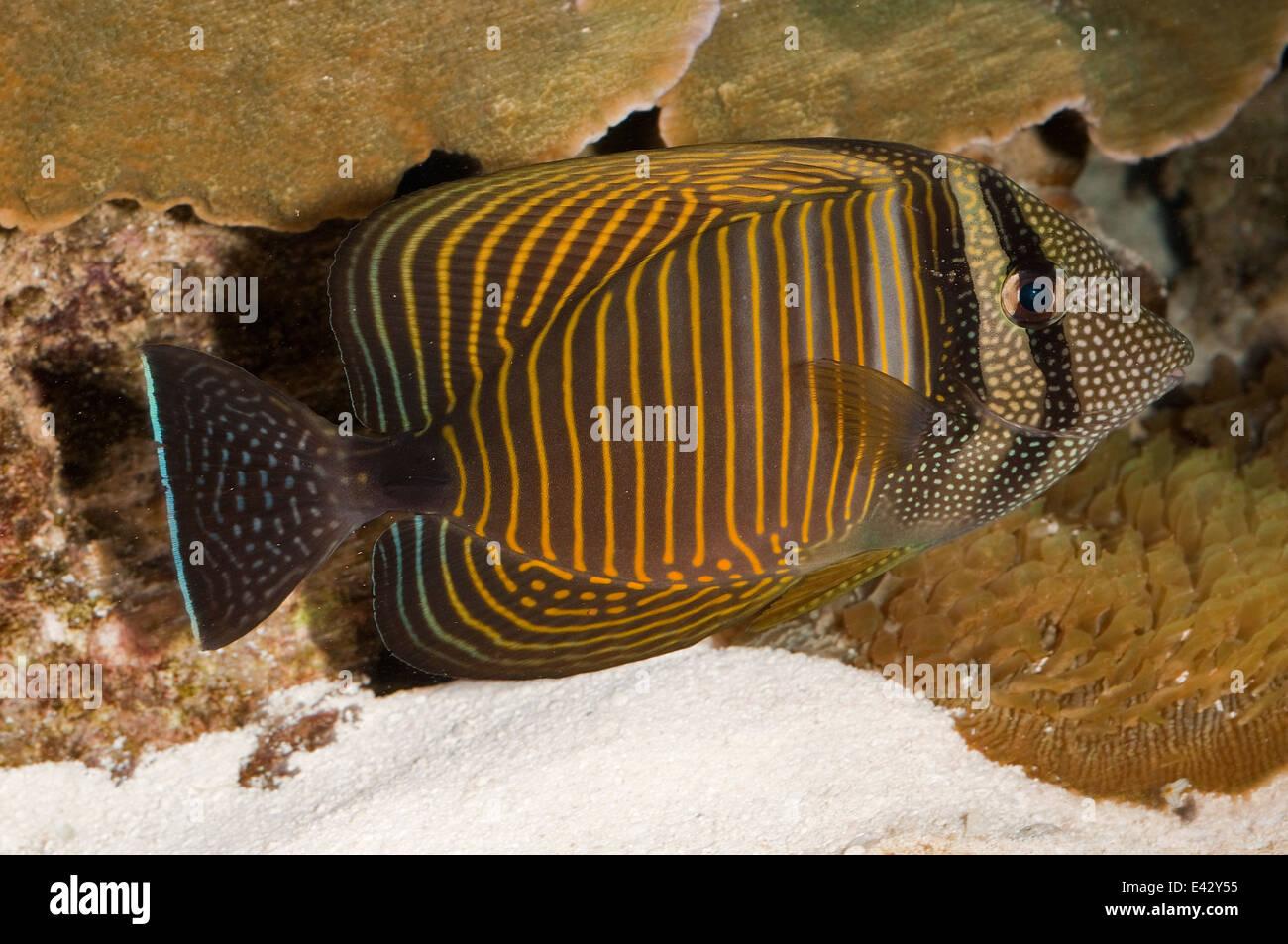 DesJardin der Segelkärpflinge Tag Zebrasoma Desjardinii, Acanthuridae, Indo-Pacifico Ozean Stockbild