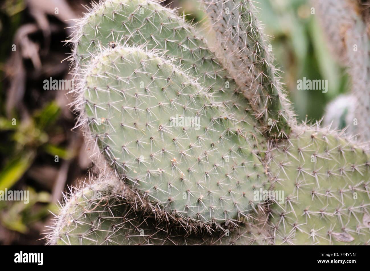 Flache runde Blätter eines Kaktusfeige am Majorelle, Marrakech Stockbild