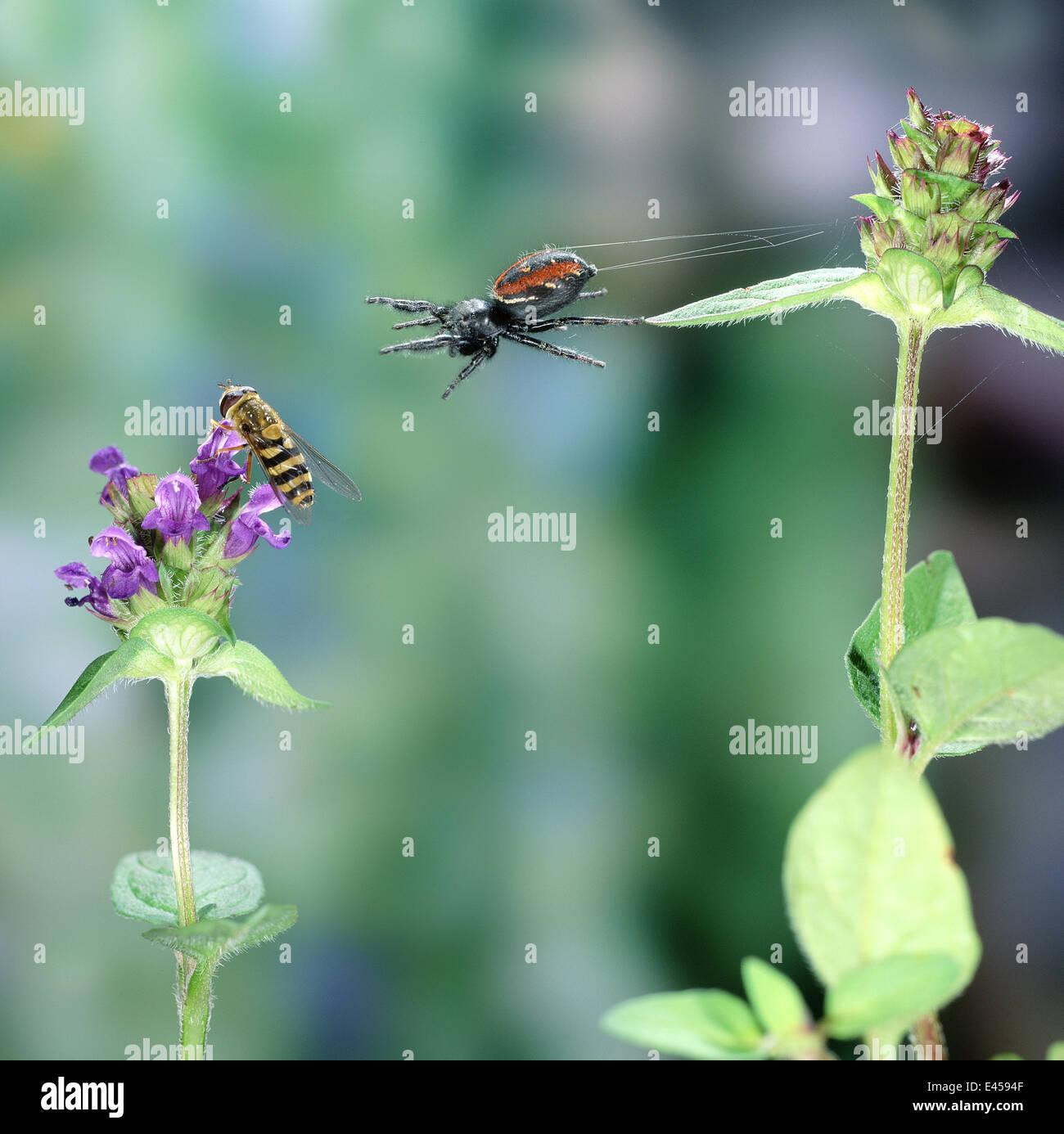Springspinne (Phidippus Clarus) stürzen sich auf eine Hoverfly. Digital Composite, UK. Stockbild