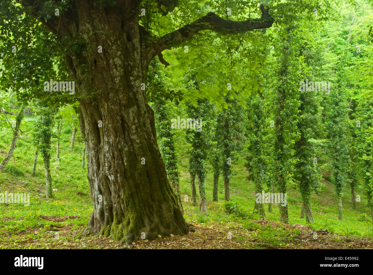 foresta umbra gargano national park stockfotos foresta umbra gargano national park bilder alamy. Black Bedroom Furniture Sets. Home Design Ideas