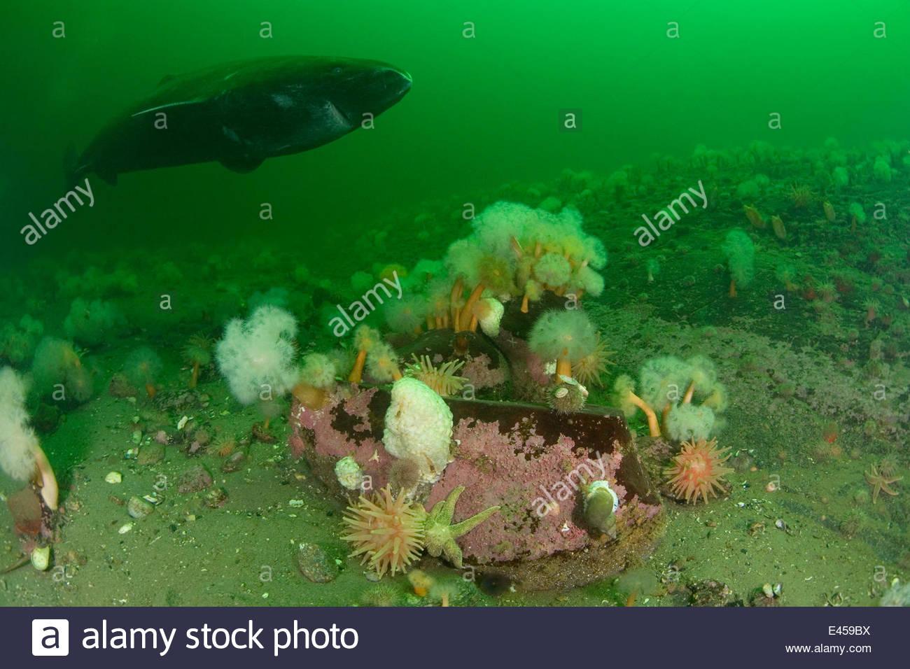 Schlafer Gronlandhai Somniosus Microcephalus Schwimmen Uber