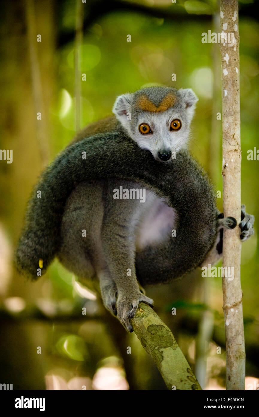 Lemur (Eulemur Coronatus) weiblich, Ankarana spezielle Reserve, Ambilobe, Nord Madagaskar gekrönt. Stockbild