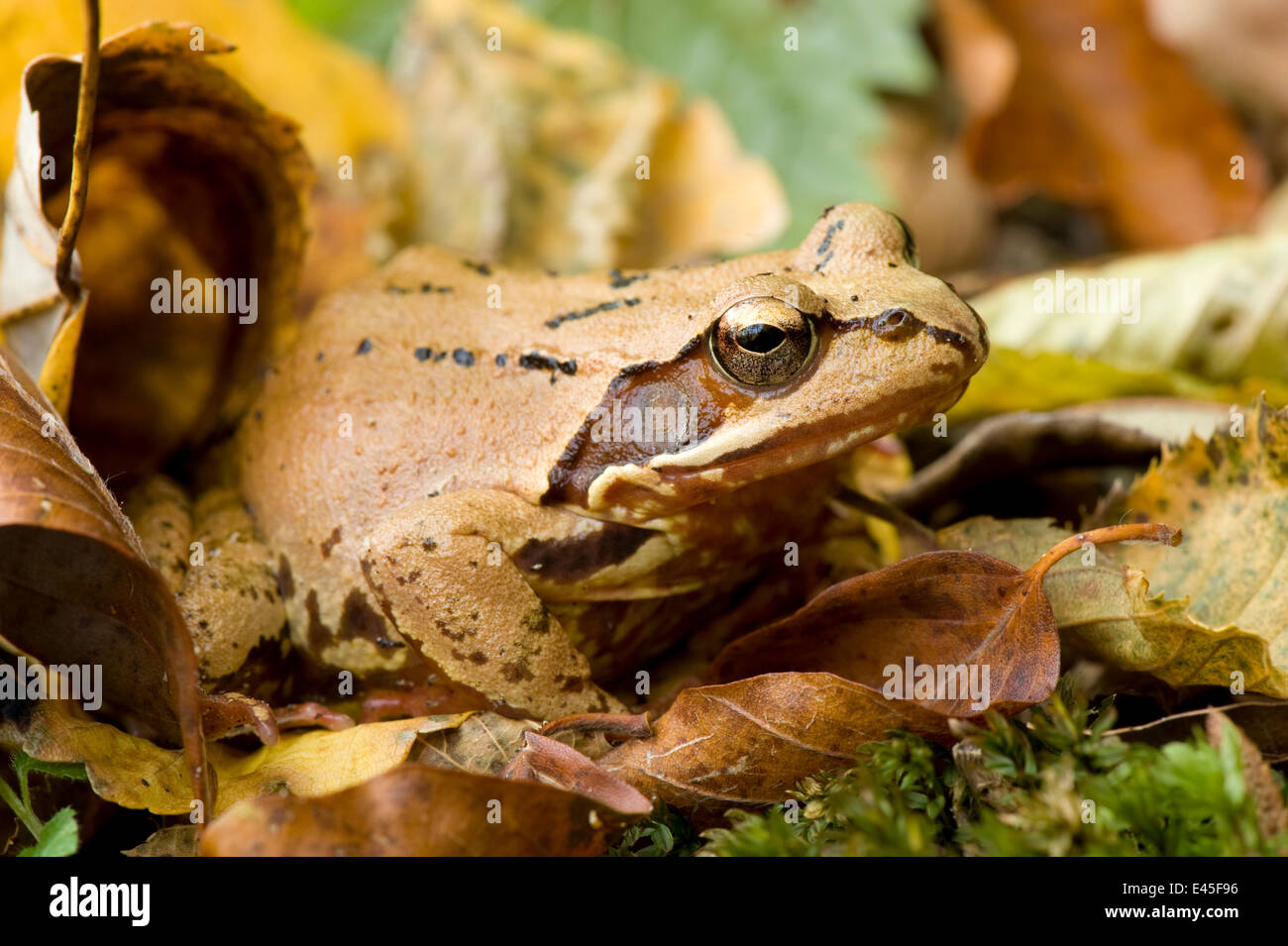 Dead Frog Stockfotos & Dead Frog Bilder - Alamy