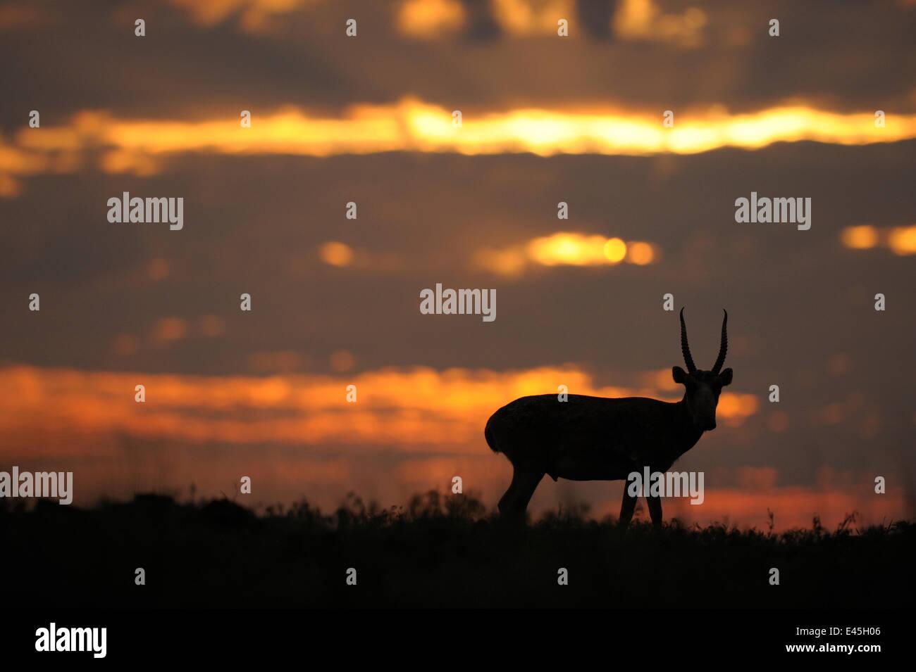 Männliche Saiga-Antilope (Saiga Tatarica) silhouettiert, Cherniye Zemli (Schwarzerde) Nature Reserve, Kalmückien, Stockbild
