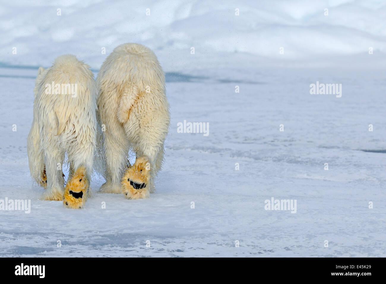 Eisbär (Ursus Maritimus) Mutter und Jungtier (18 Monate) zu Fuß entfernt, nach dem Schwimmen, Spitzbergen, Stockbild