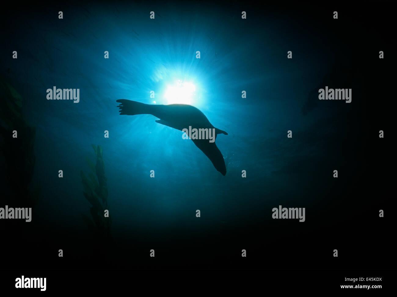 Silhouette der kalifornische Seelöwe (Zalophus Californianus) Schwimmen unter Wasser, Anacapa Island, Kalifornien, Stockbild