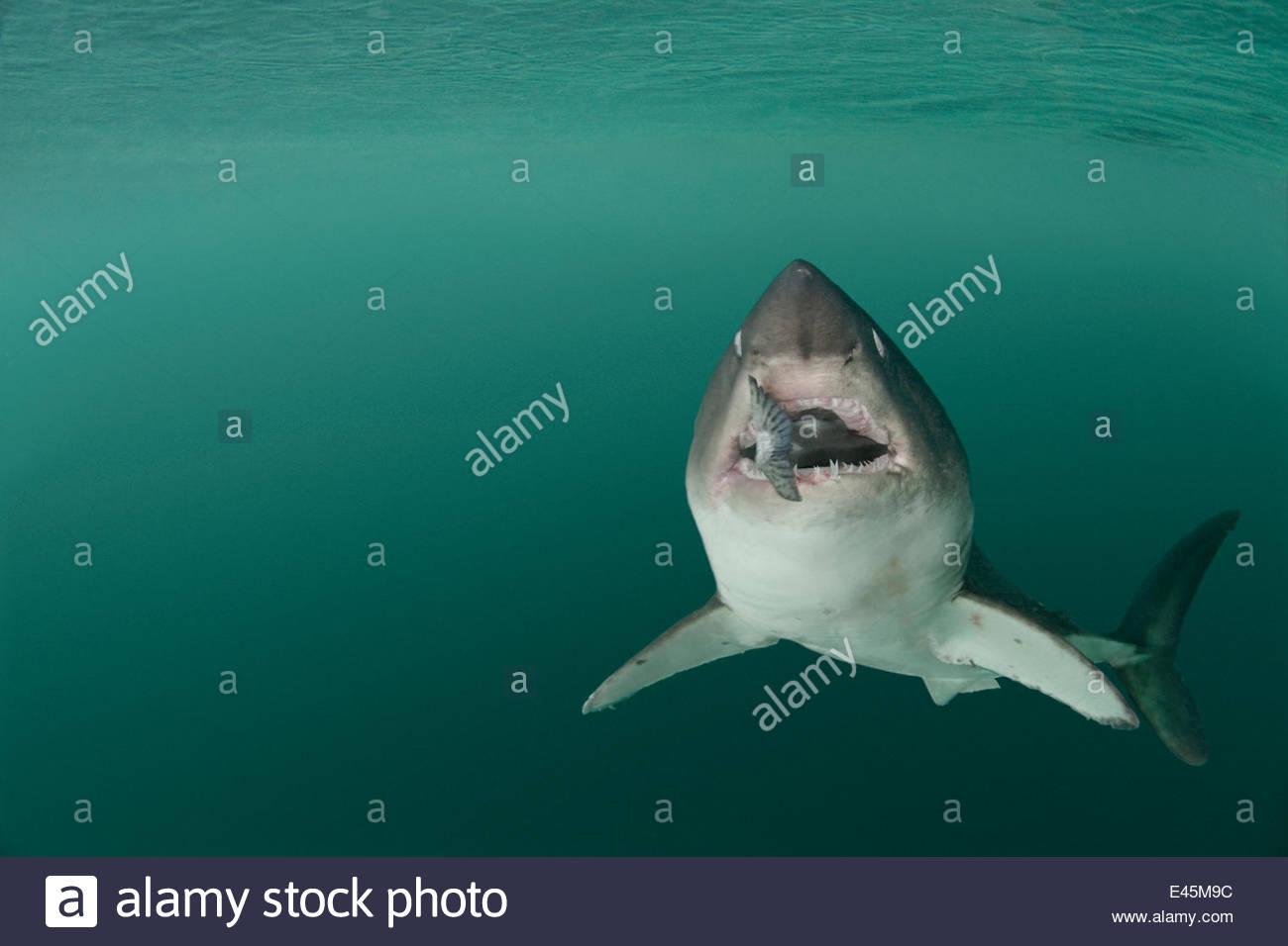 Lachs Hai {Lamna Ditropis} gefangen, mit Lachs in Mund (Augen werden ein Rollback für Schutz), Prince William Stockbild