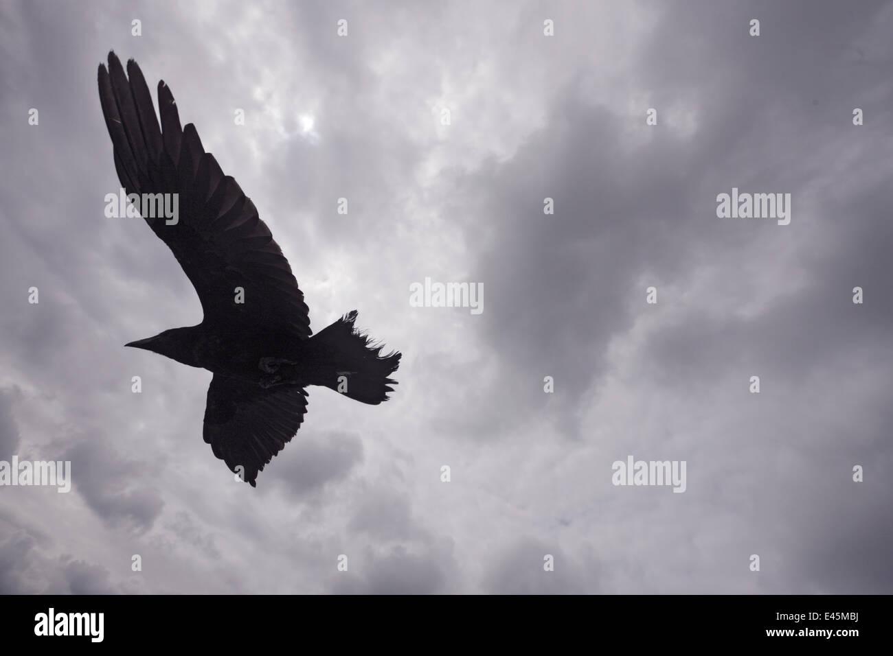 Raven Sie (Corvus Corax) im Flug, Silhouette, Burren, County Clare, Irland, Juni 2009 Stockbild