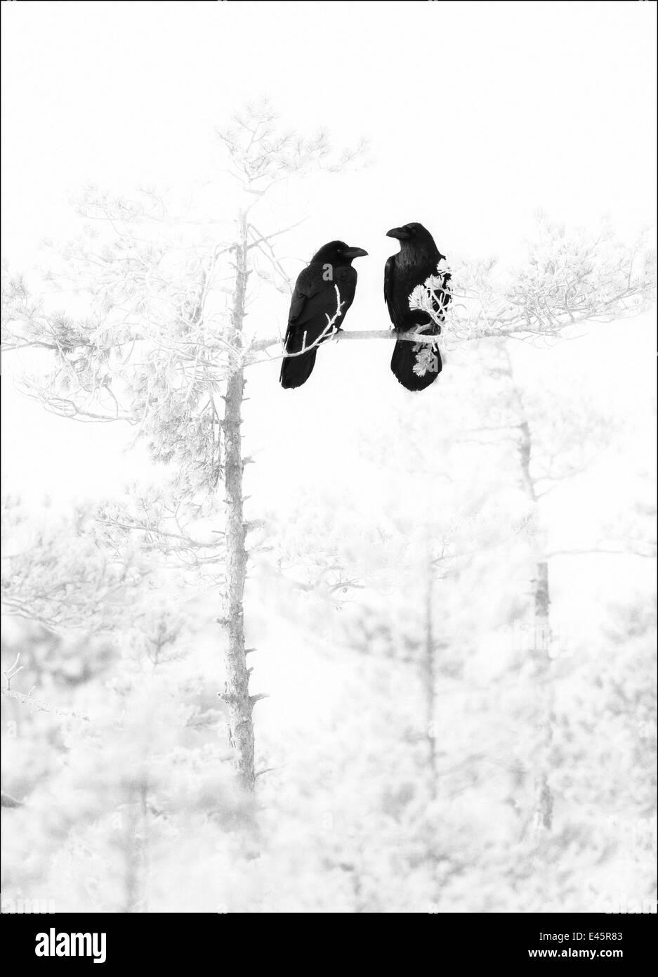 Ein paar der Kolkrabe (Corvus Corax) thront in gebleicht, Pinie, Estland, März 2008 Stockbild
