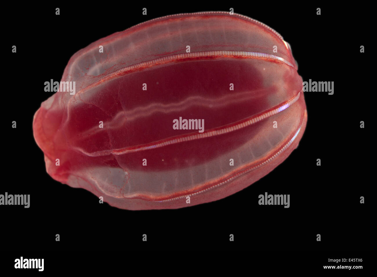 Zooplanktons Cyddipid Rippenqualle / Kämmen Gelee (Ctenophora) von benthischen Grenzschicht, mid Atlantic Ridge, Stockbild