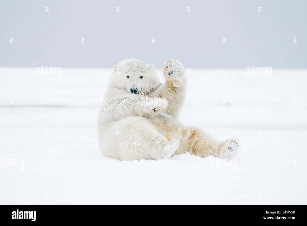 Eisbär (Ursus Maritimus) junger Mann spielen / wälzen im Schnee auf einer vorgelagerten Insel im Herbst Stockbild