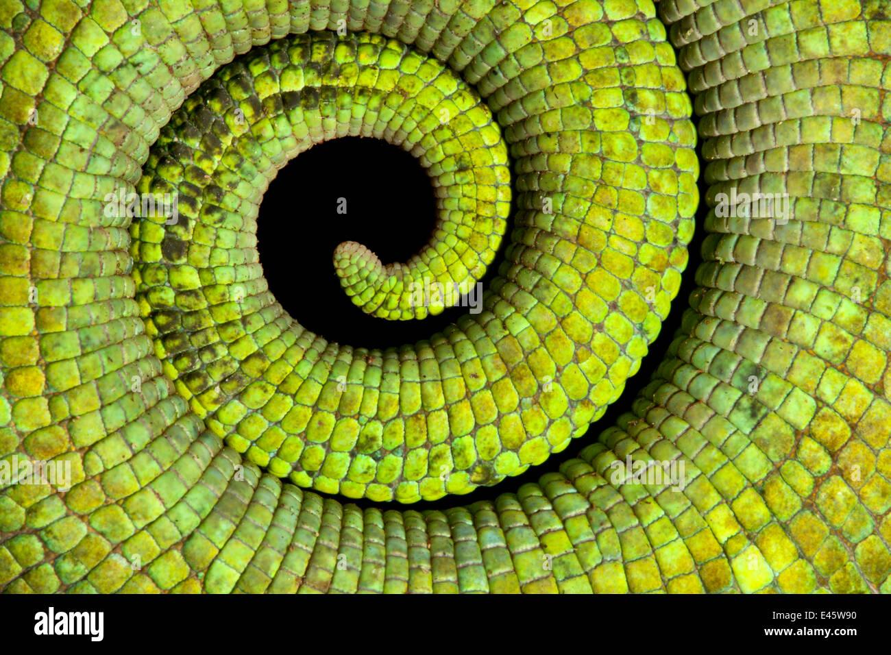 Nahaufnahme aufgerollter Schwanz von Parsons Chamäleon {Calumma Parsonii} Skalen und starke grüne Färbung zeigen. Tropischer Regenwald, Nationalpark Masoala Halbinsel, Nord-Ost-Madagaskar. Stockfoto