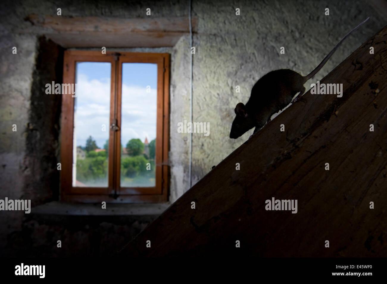 Hausmaus (Mus Musculus) zu Fuß nach unten abfallenden Strahl im Licht aus einem Fenster. Schweiz. In Gefangenschaft, Stockbild