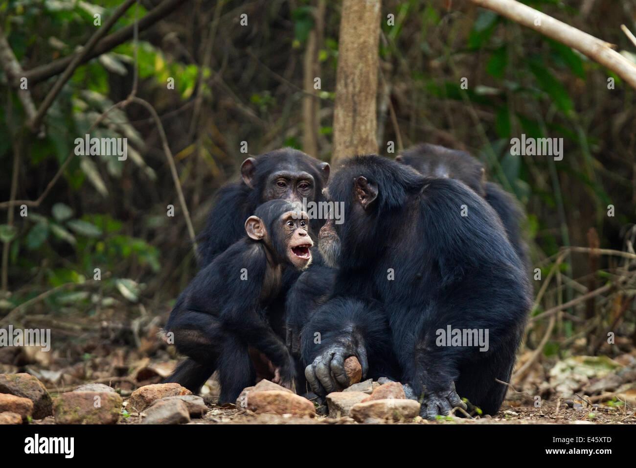 """Westliche Schimpanse (Pan Troglodytes Verus) Kind männlichen """"Flanle"""" ab 3 Jahren handeln aggressiv Stockbild"""