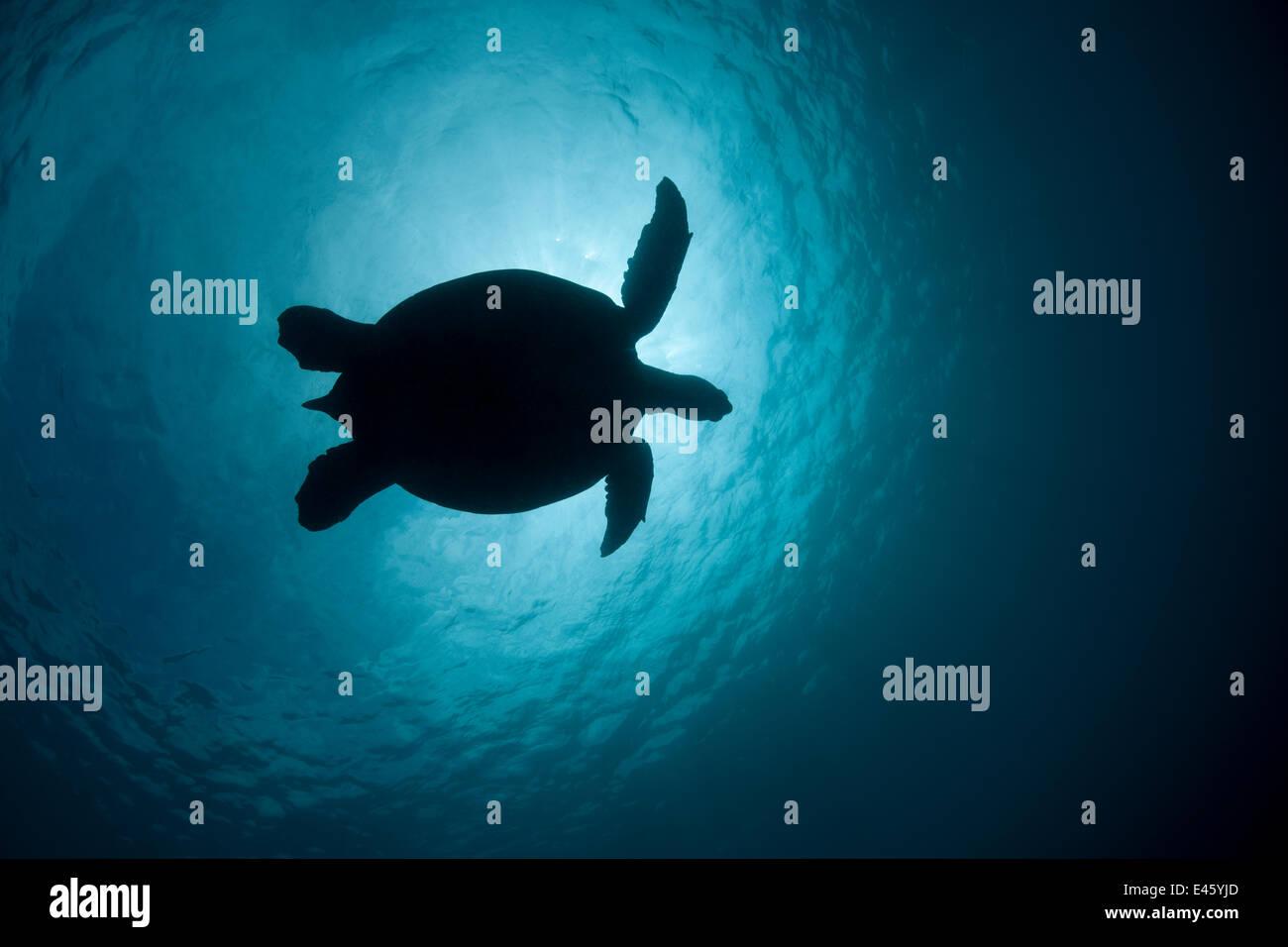 Suppenschildkröte (Chelonia Mydas) gegen die Sonne. Sipadan Island, Semporna, Sabah, Malaysia, Juni Stockbild