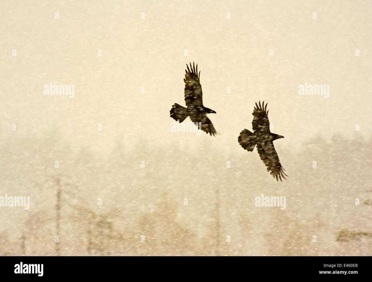 Zwei gemeinsame Kolkrabe (Corvus Corax) im Flug durch Schnee, Finnland, April Stockbild