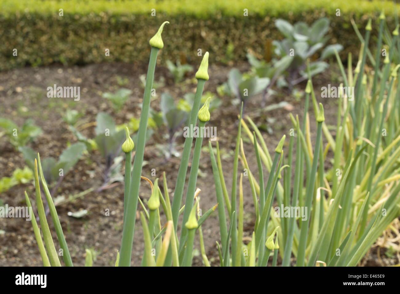 Gemeinsamen Zwiebel - Allium cepa Stockbild
