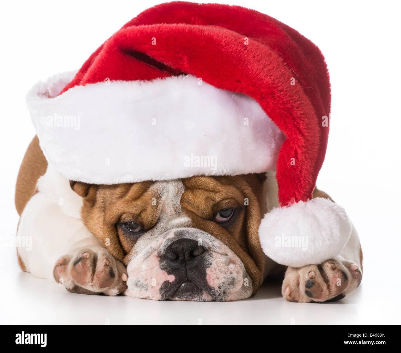 bulldog wearing santa hat stockfotos bulldog wearing. Black Bedroom Furniture Sets. Home Design Ideas
