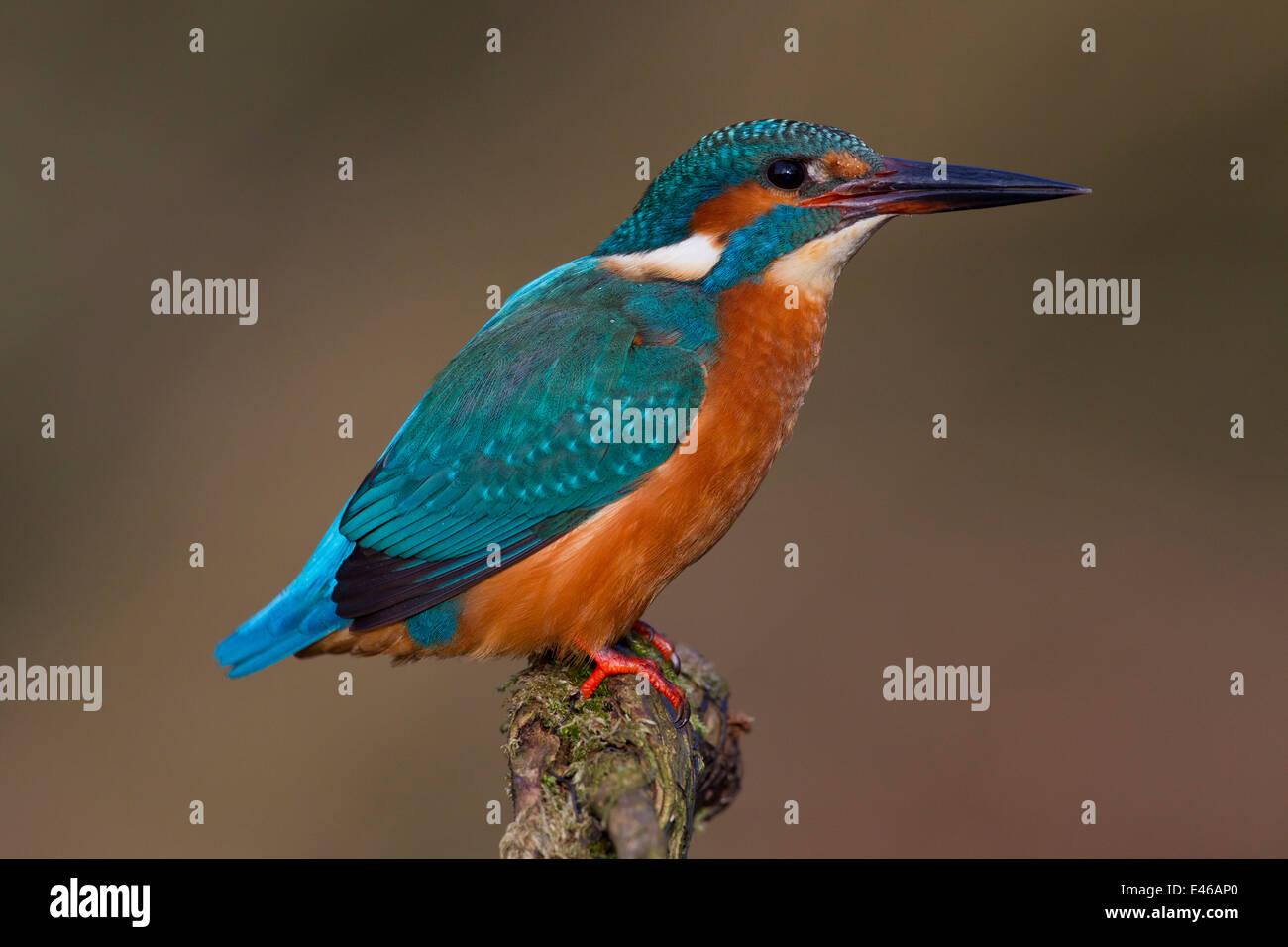 Eisvogel / eurasischen Eisvogel (Alcedo Atthis) thront auf Zweig und auf der Suche nach Fische im Fluss Stockbild