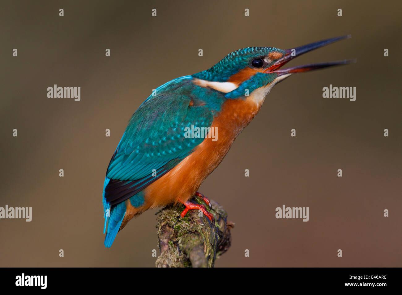 Eisvogel / eurasischen Eisvogel (Alcedo Atthis) thront auf Zweig und Berufung Stockbild