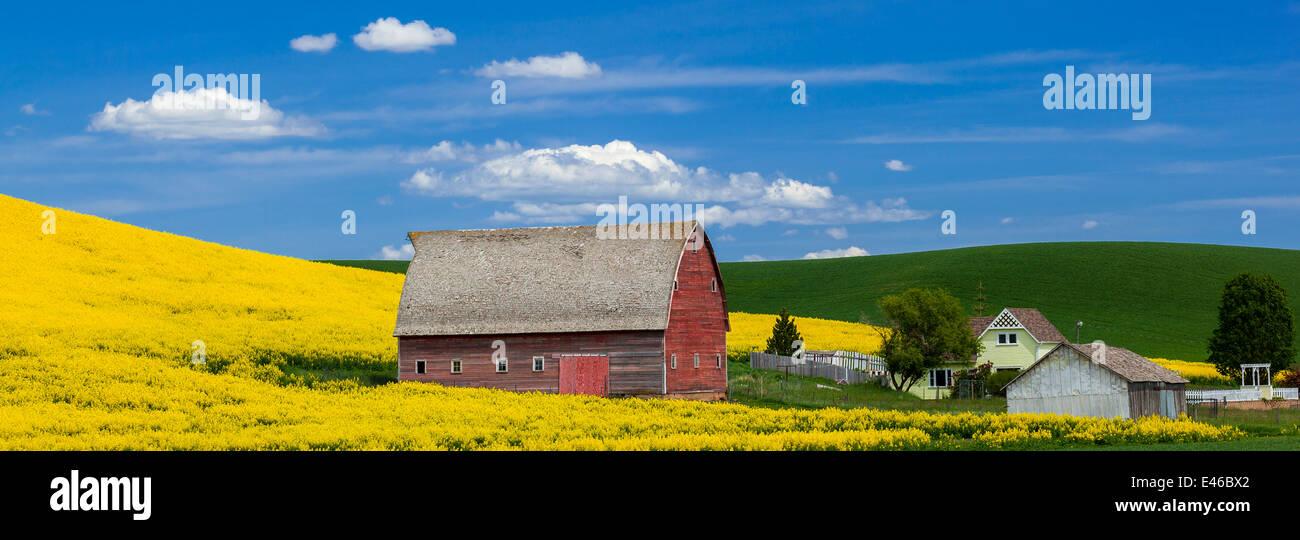 Palouse Land, Latah County, ID: Rote Scheune mit Hang des gelb blühenden Raps Feld Stockbild