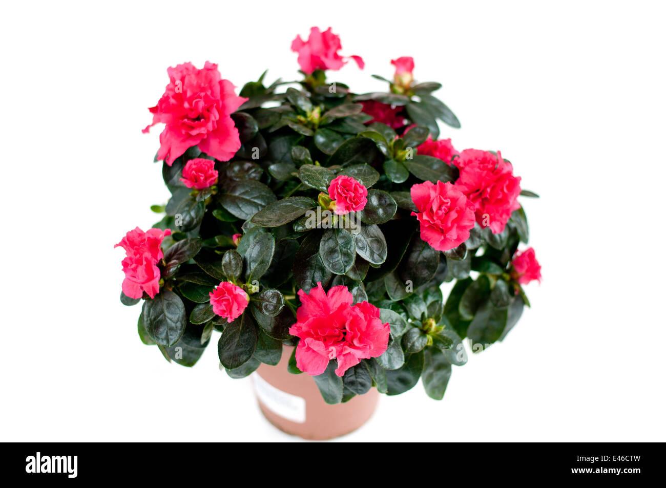 Blume Zimmerpflanze Azalee Topf Nach Hause Bluhenden Blumen Rosa