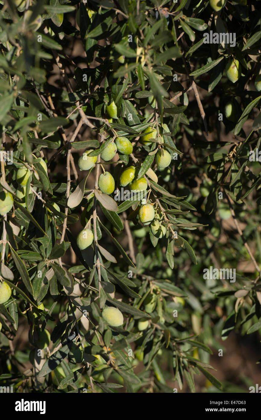 Griechenland, Rhodos, Lindos, Oliven am Baum Stockbild
