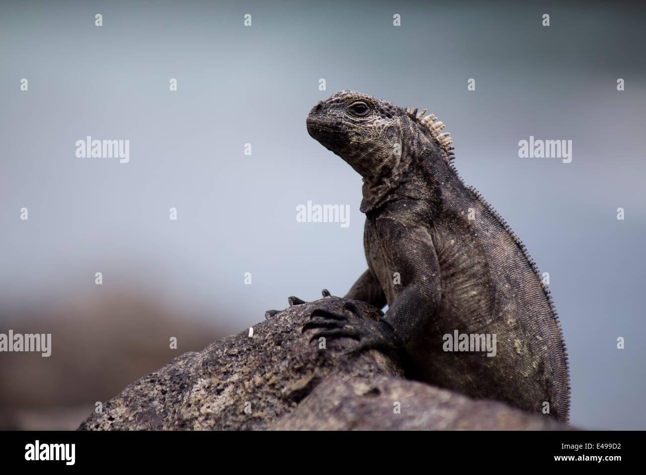 Leguan genommen auf den Galapagos-Inseln Stockbild