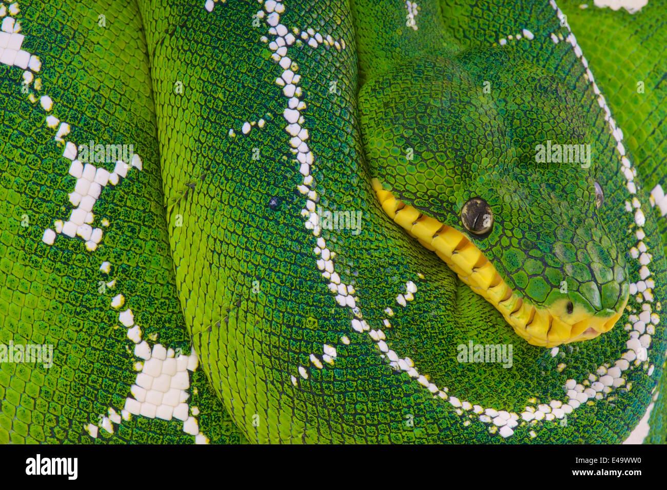 Oberen Amazonas Baum Boa / Corallus Batesii Stockbild
