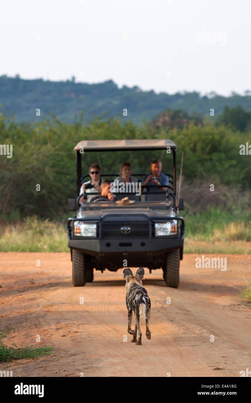Afrikanischer Wildhund (LYKAON Pictus) und Tierbeobachtungen Fahrzeug, Madikwe Game Reserve, Südafrika, Afrika Stockbild